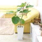 観葉植物 フィカス ウンベラータ 7号 ホワイトスクエア陶器鉢 ストレートの1枚目の写真